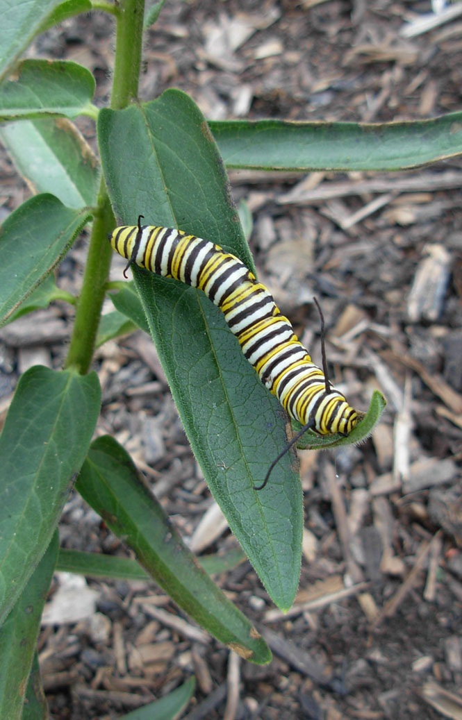 Monarch caterpillar Gempp Waystation 09-19-2014